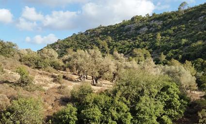 Galimfluss: Olivenhain aus der Kreuzfahrerzeit