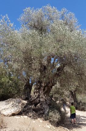 Einer der größten Olivenbäume im Tal des Galimflusses