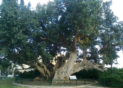 Die Sykomore in Netanya