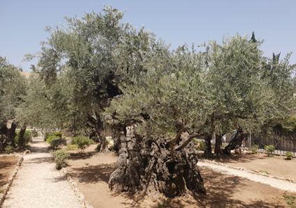 Olivenbäume im Garten Gethsemane
