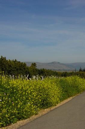Wilder Senf im Hulatal (Nordisrael)