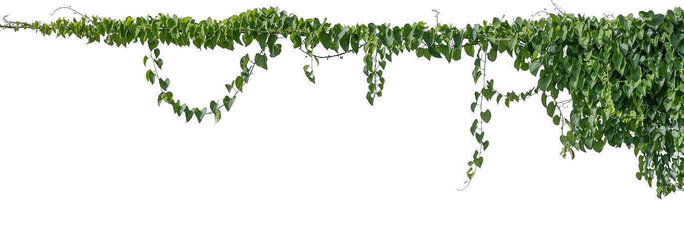Plant%20vine%20green%20ivy%20leaves%20tr