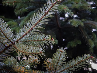 The Many Uses of Spruces