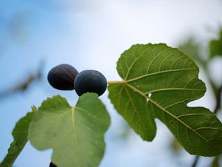 The Unfruitful Fig Tree