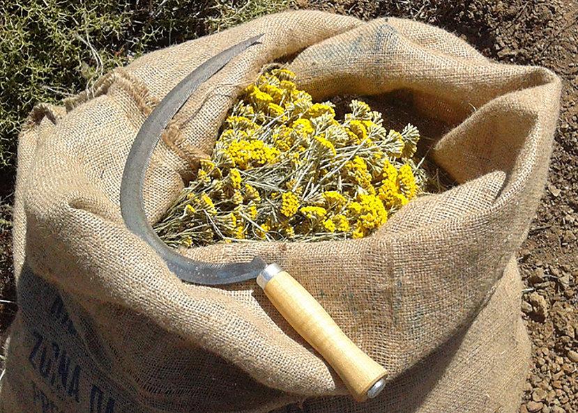 Helichryson.jpg