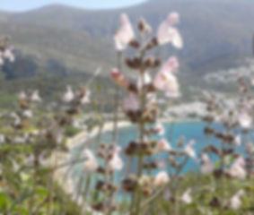 sage flower.jpg