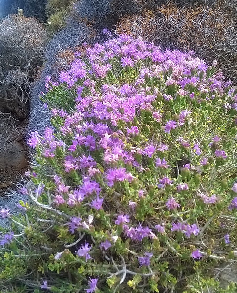 thyme%20flower_edited.jpg