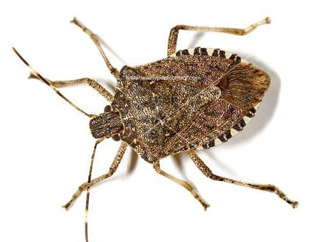 Seasonal measures for Brown marmorated stink bug (#BMSB)