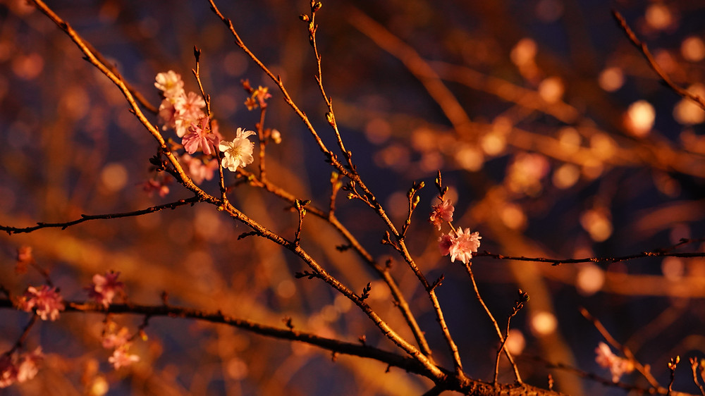 妙義山の帰り群馬にある冬桜を鑑賞してきました。この後、ダムサイトの鍋料理に身も心もホッコリでした。