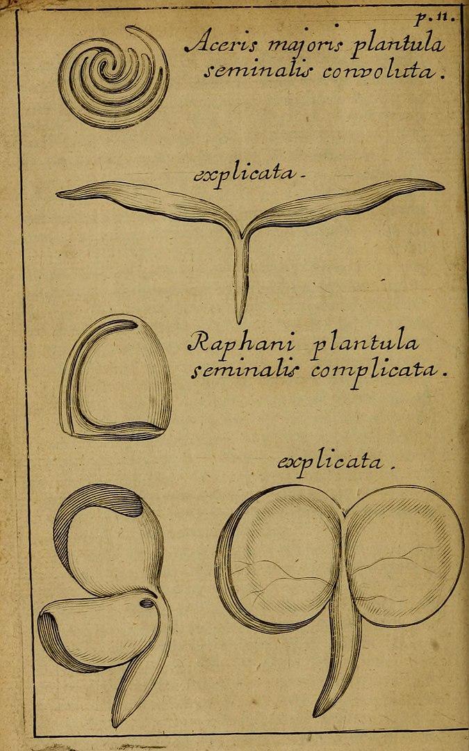 Anatome Plantarum, 1679