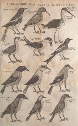 Madras Birds