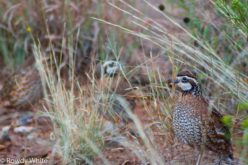 quail - Copy.jpg