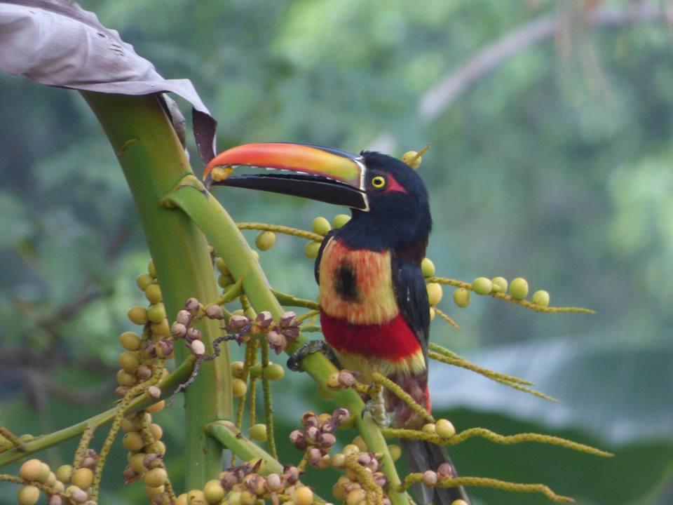 Sara Marhenke Fiery-billed Aracari.jpg