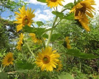 Sunflowers in Bloom for You in our Southern Zone of Costa Rica