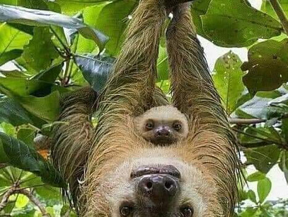 We Love Sloths in the Wonderful Southern Zone of Costa Rica
