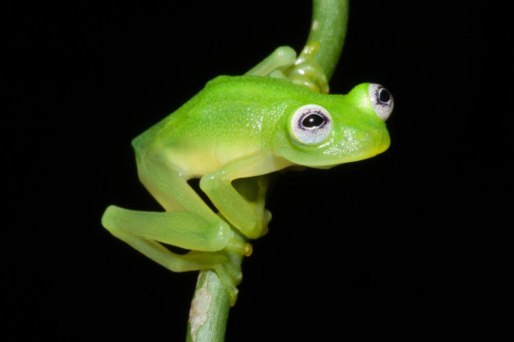 Glass frog - new species.jpg