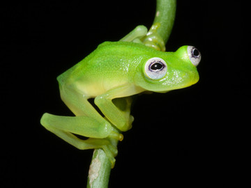 Dancing in the Rain ... New Frog Species Discovered near us in the Southern Zone of Costa Rica