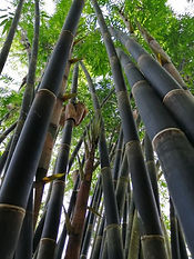 Java Black Bamboo.jpg