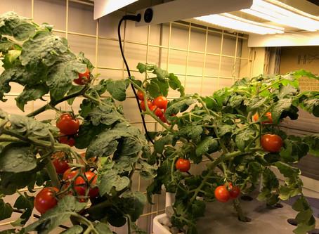 ミニトマトが鈴なりになってきました!