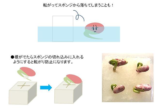 いんげん栽培.jpg