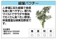 細葉パクチー .jpg