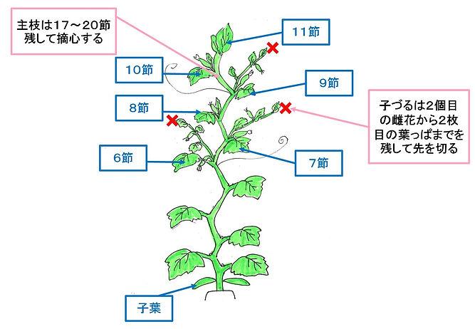 キュウリ摘心イラスト.jpg