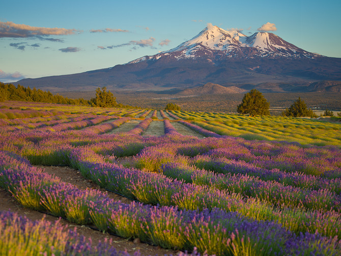Lavender, History and Medicinal Uses