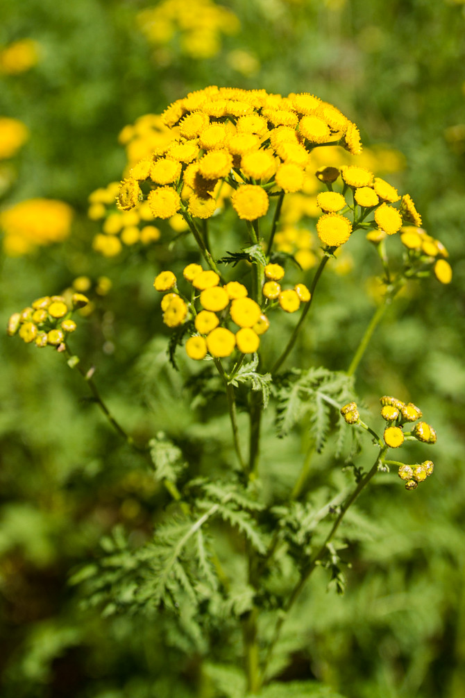 Dried Flowers:  Tansy