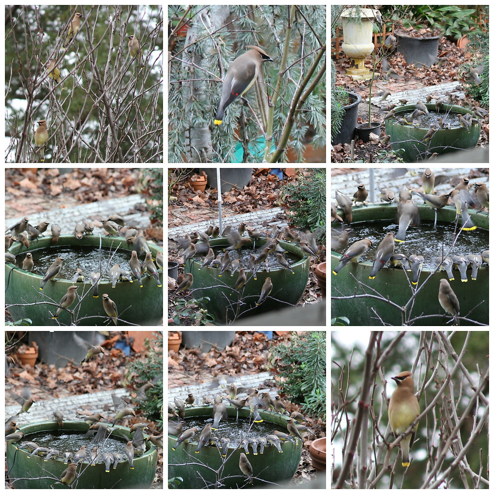 Collage Waxwing mixed x9.jpg