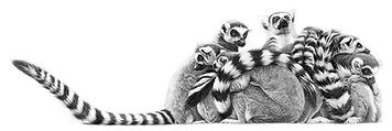 Ring tailed lemurs drawing by Gary Hodges
