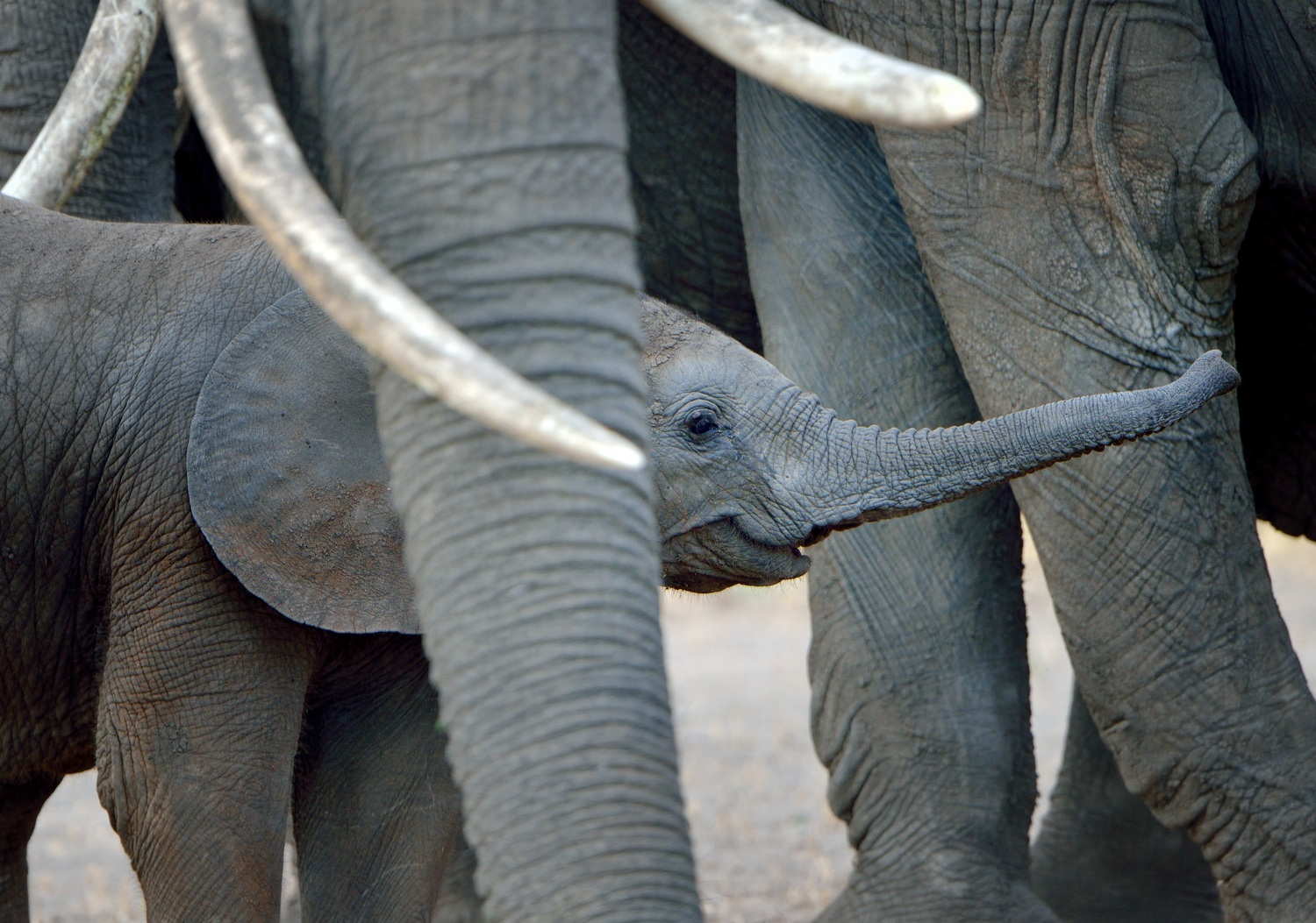 Young elephant with herd by Dave Currey