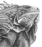 green iguana drawing by Gary Hodges