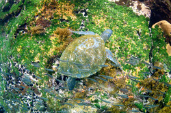 Green turtle feeding on weed by Dave Currey