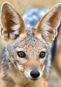 Jackal by Dave Currey