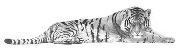 Tiger drawing by Gary Hodges