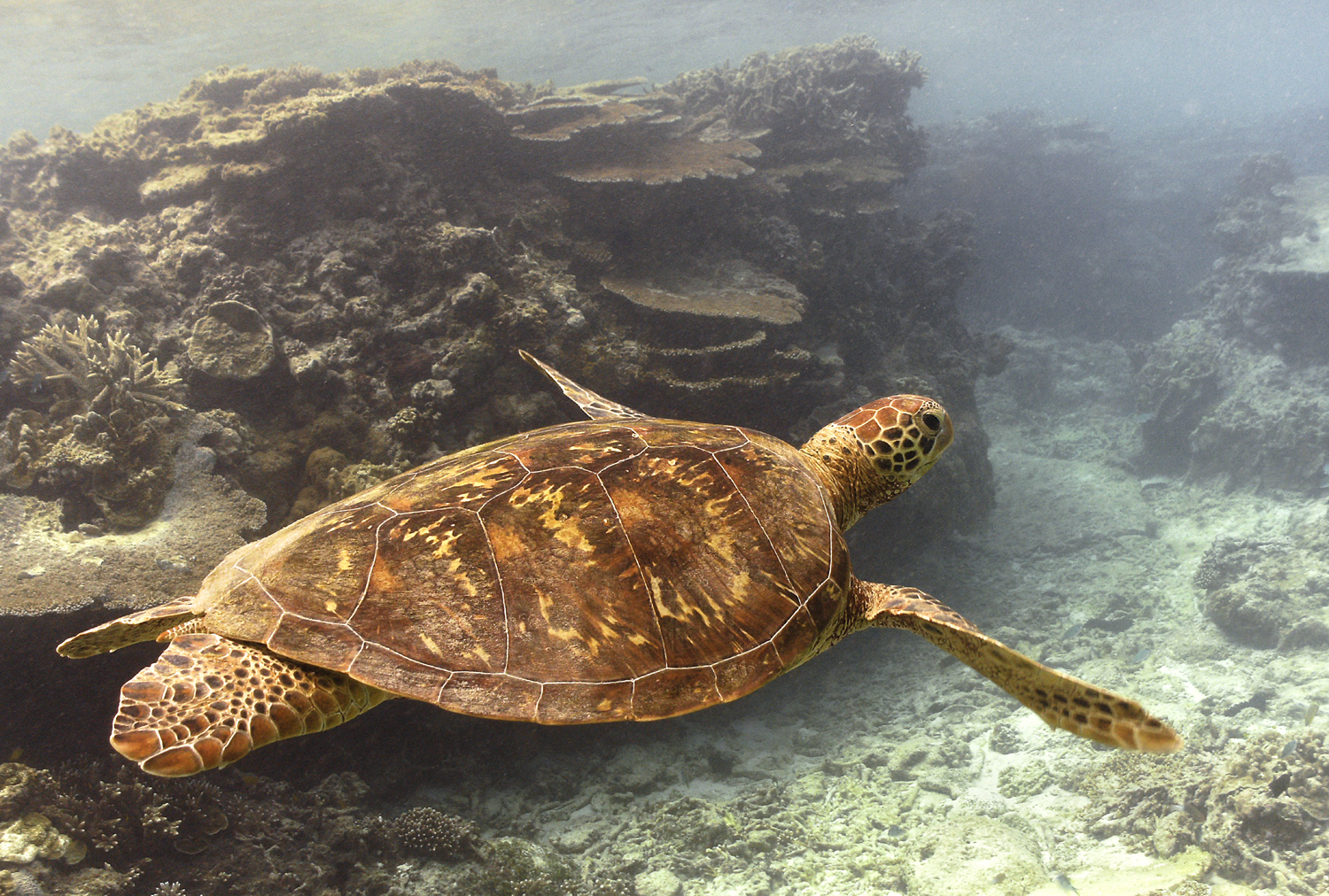 Green turtle by Dave Currey