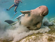Gary Hodges with wild Dugong in Egypt