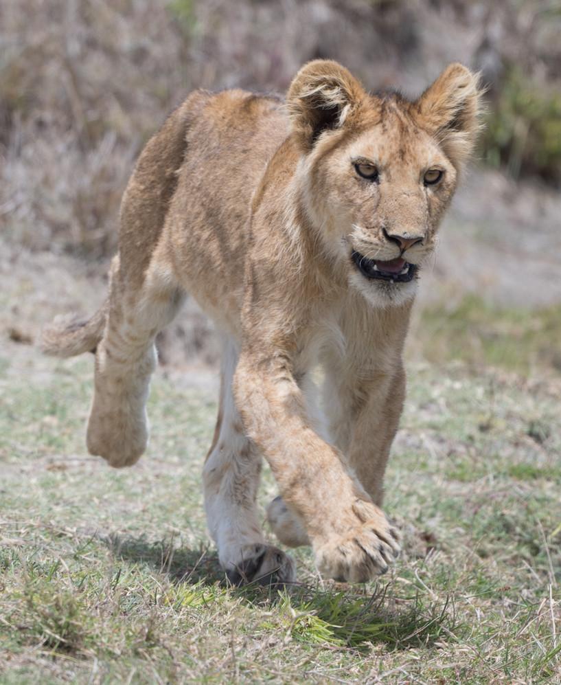 Lion cub racing to a kill