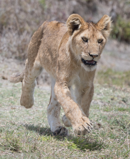 Lion cub racing to a kill