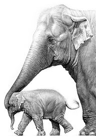 Asian elephant and calf drawing by Gary Hodges