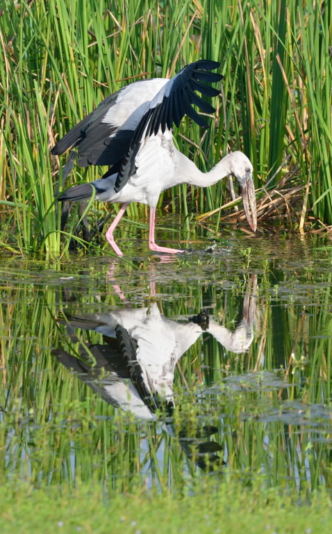 Asian Open-billed Stork
