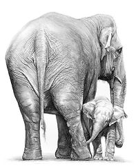 Asian elephants drawing by Gary Hodges