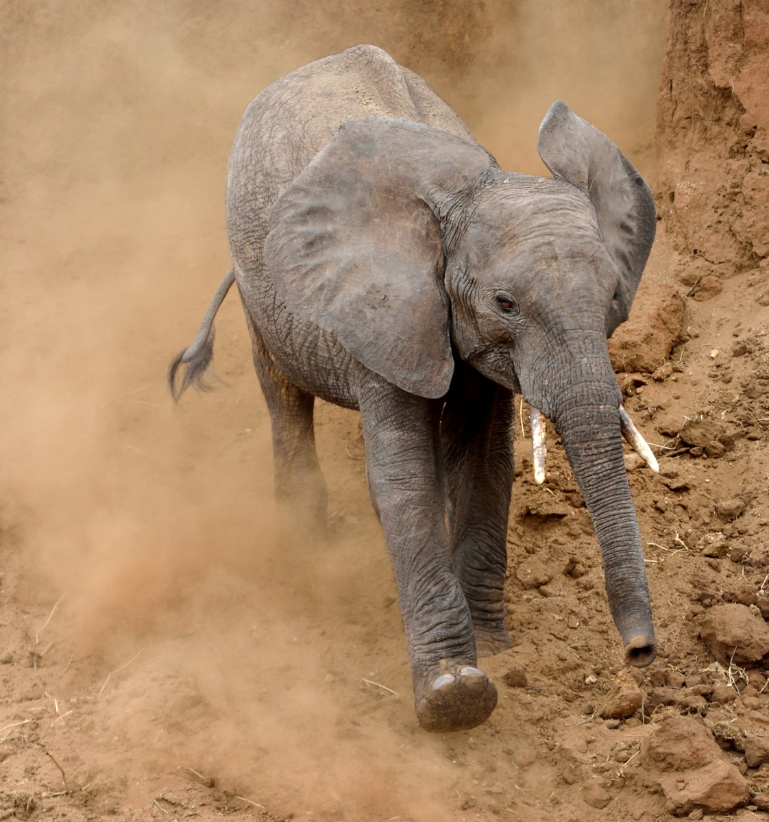Young elephant in dust by Dave Currey