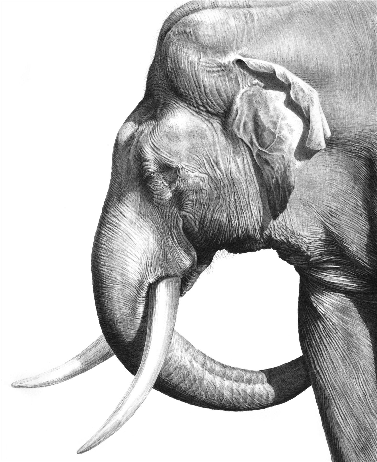 Old Tusker 1996 (Asian elephant)