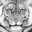 Tiger portrait by Gary Hodges