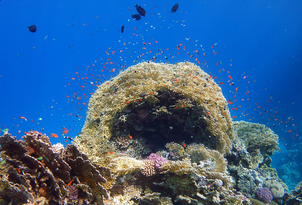 Coral with colour Red Sea by Dave Currey.jpg