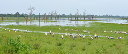 Painted storks & Pelicans