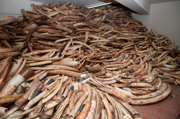 DOES WWF STILL BACK IVORY TRADE?