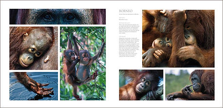 Page spread of orang utan photos by wildlife artist Gary Hodges in his book Heart and Soul