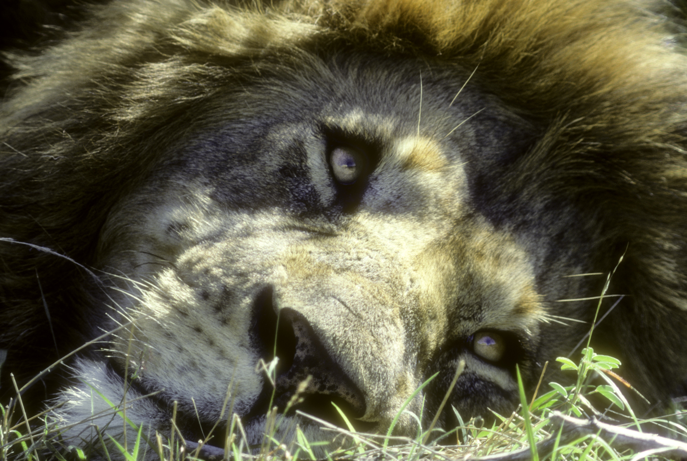 Lion portrait by Dave Currey